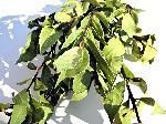 ドライフラワー花材 月桂樹