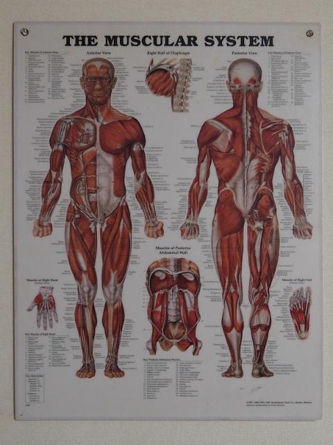 インポート◆アメリカ◆USA◆ヴィンテージ◆Anatomical Chart Co. IllinoisMUSCULAR SYSTEM (人体図/筋肉)