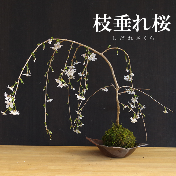 苔玉 枝垂れ桜(富士桜)の苔玉焼締茶器セット 敷石つき 陶房・歩知歩智 名古屋セット