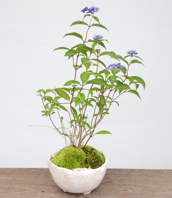 山紫陽花 何が届くかお楽しみ bonsai 花咲く盆栽 誕生日 本格的盆栽 育て方のしおり付 電話 メール 安心サポート 【現在花なし】盆栽 ヤマアジサイ寄せ植え盆栽 万古焼 白丸鉢 花の品種はおまかせ 花が咲く 育て方のしおり 1年分肥料つき おうち時間 巣ごもり時間 母の日 父の日