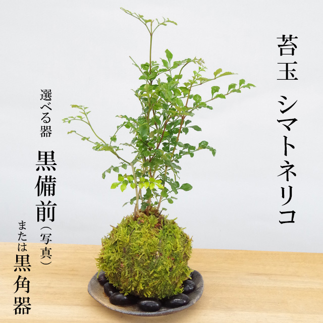 コケダマ 観葉植物 育て方のしおり付 お手入れ相談 電話 メールサポート 苔玉 涼しげな葉が苔とよくあいます シマトネリコの苔玉 器セット