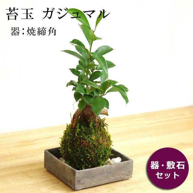 まるでダイコン脚のような独特な姿をしたガジュマル。気根をたくさん出し、それが地面につき支柱根になって個性的な樹形になります。 花言葉は健康。 苔玉 ガジュマル 縁起良い 幸運の木 ユニーク 人気 沖縄 ガジュマルの苔玉・焼締角器セット
