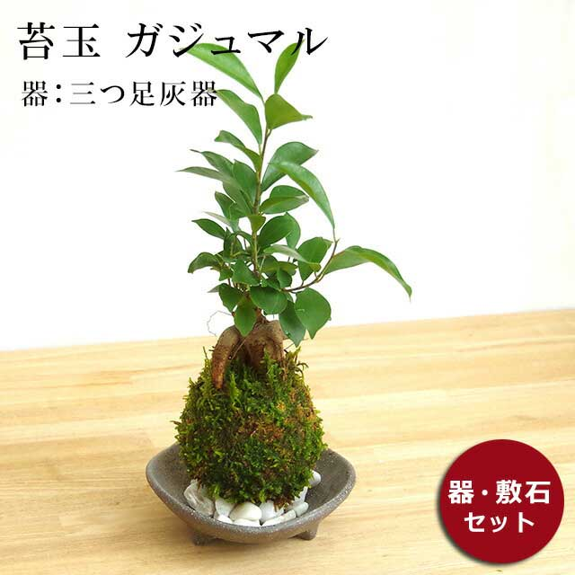 まるでダイコン脚のような独特な姿をしたガジュマル。気根をたくさん出し、それが地面につき支柱根になって個性的な樹形になります。 花言葉は健康。 苔玉 ガジュマル 縁起良い 幸運の木 ユニーク 人気 沖縄 ガジュマルの苔玉・三つ足灰器セット
