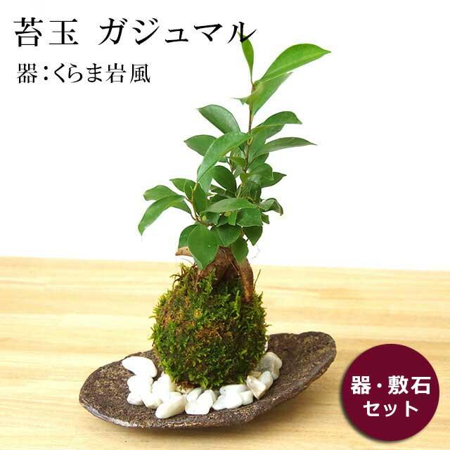 苔玉 ガジュマル 縁起良い 幸運の木 ユニーク 人気 沖縄 ガジュマルの苔玉・くらま岩器セット