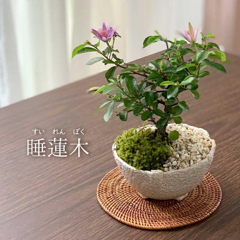 5月頃から夏の終わりまでお花が咲きます♪日当たりのよい屋外で育ててください!スイレンの花のような可憐な姿 【現在花なし】盆栽 スイレンボク 睡蓮木の盆栽【万古白鉢】睡蓮 万古焼 四日市 bonsai 誕生日 還暦祝い 父の日 母の日