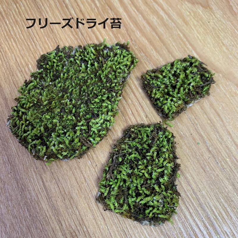 日本国内で栽培された苔 スナゴケ をフリーズドライ加工しました 海外にも持っていける仕様で 水やり不要 限定モデル 室内観賞できる本物の日本の苔です フリーズドライ苔 freezedrymoss 卓上 garden zen japan 受賞店 コケテラリウム 枯山水キットオプション