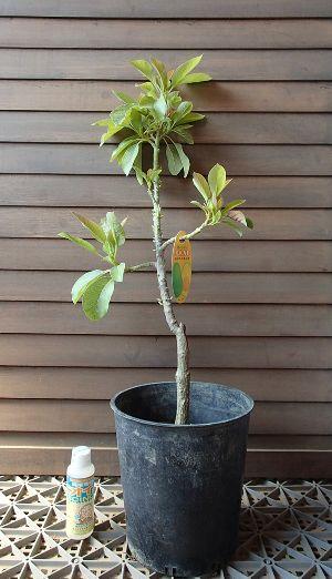 アボカド(品種不明)接ぎ木5年生 7寸鉢《熱帯果樹苗》