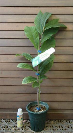 【7寸鉢植え 接ぎ木3~4年生】 ポポー シェナンドー :熱帯果樹苗