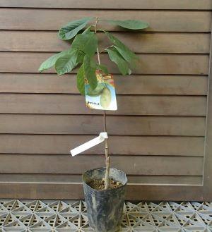 珍しい 果樹 花木 苗 植物 《果樹苗》 お気にいる 贈答品 オーバーリース ポポー 接木苗 を日本花卉で探してみませんか?