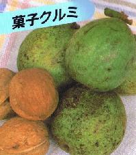 珍しい 並行輸入品 果樹 花木 苗 植物 菓子クルミ 商い 《果樹苗》 を日本花卉で探してみませんか? 菓子胡桃