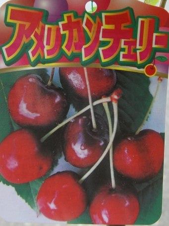 珍しい 果樹 花木 特売 苗 植物 アメリカンチェリー を日本花卉で探してみませんか? サクランボ サミット 《果樹苗》 優先配送