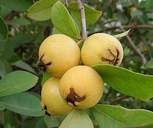珍しい 果樹 超激得SALE 花木 苗 植物 実付き グアバの木 を日本花卉で探してみませんか? イエローストロベリーグァバ《熱帯果樹苗》 本日の目玉 実は1~3個程度です