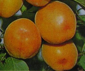 珍しい 果樹 花木 苗 植物 待望 新作 人気 新潟大実あんず 《果樹苗》 杏 アンズ を日本花卉で探してみませんか?