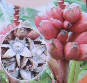 珍しい 果樹 18%OFF 花木 苗 植物 を日本花卉で探してみませんか? 秀逸 ピンクバナナ 寒さに強いバナナ 《熱帯果樹苗》 アケビバナナ 耐寒性バナナ 赤実バナナ
