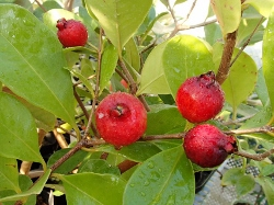 珍しい 果樹 花木 苗 植物 赤実グアバ を日本花卉で探してみませんか? 鉢植 人気ショップが最安値挑戦 無料サンプルOK 《熱帯果樹苗》 ストロベリーグァバ