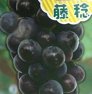 珍しい 果樹 花木 苗 植物 を日本花卉で探してみませんか? 藤稔 値引き ふじみのり 卓抜 ブドウ ぶどう 苗木 葡萄《果樹苗》 挿し木