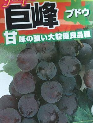 珍しい 果樹 花木 苗 植物 を日本花卉で探してみませんか? ぶどう 挿し木 巨峰 ブドウ 葡萄《果樹苗》 苗木 結婚祝い ※アウトレット品