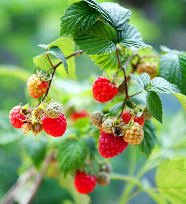 珍しい 果樹 花木 苗 植物 開催中 を日本花卉で探してみませんか? トゲナシ 4寸ポット植え《果樹苗》トゲなしラズベリー グレンアンプル 大実赤実ラズベリー 定番