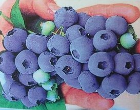珍しい 果樹 花木 苗 植物 を日本花卉で探してみませんか? 《果樹苗》 ノーザンハイブッシュ系 人気の製品 直営ストア チャンドラー 5寸ポット植え 苗木 ブルーベリー