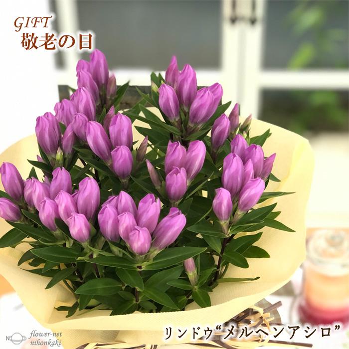 敬老の日 リンドウ メルヘンアシロ 5号鉢 送料無料 ギフト 舗 プレゼント 贈り物 花 内祝い 鉢植え りんどう