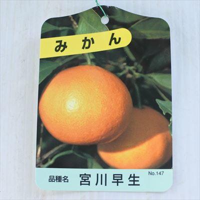 みかん実付き苗温州みかん宮川早生6号鉢みかんミカン