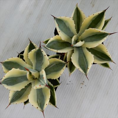 sdアガベスーパークラウン多肉植物アガベ10.5cmポット