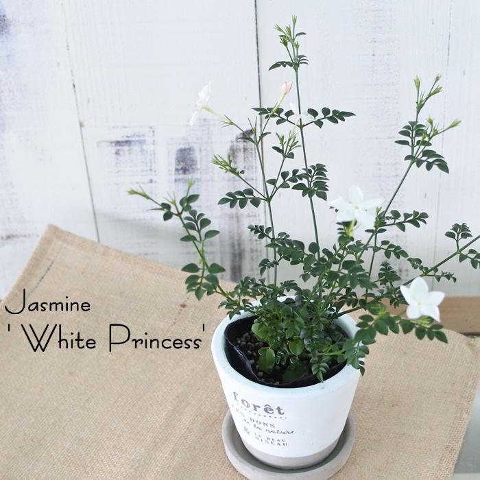 ジャスミン ホワイトプリンセス 苗 卸直営 新作多数 ハーブ Herb