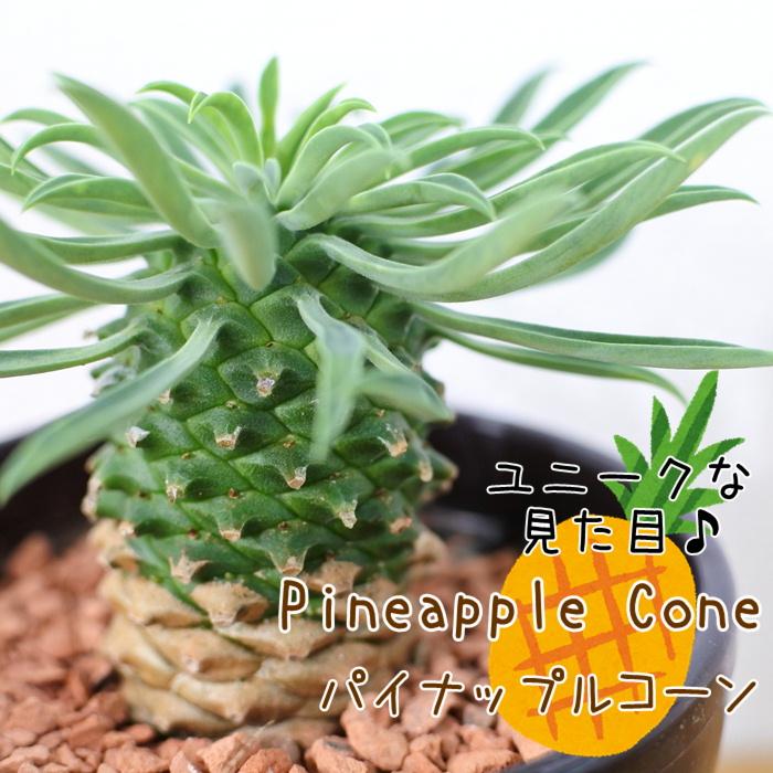 sdユーフォルビアパイナップルコーン(サボテン・多肉植物・ミニ観葉植物)