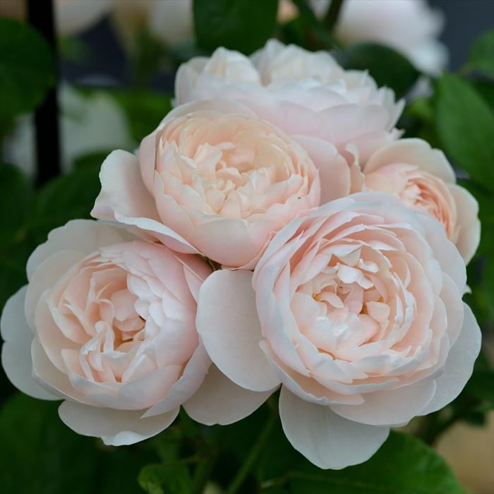 予約販売 バラ苗 お買い得 バラ大苗 デルバール ブリーズ hao お見舞い 12月上旬以降発送 繰り返し咲き バラ 薔薇