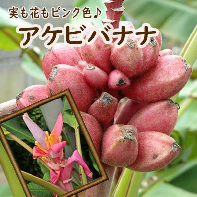 かわいいピンクのバナナアケビバナナ10.5cmポット