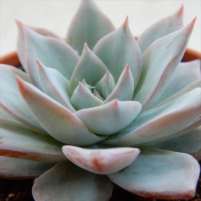 多肉植物 新作続 hmエケベリア デスメチアナ 値引き エケベリア 6cmポット