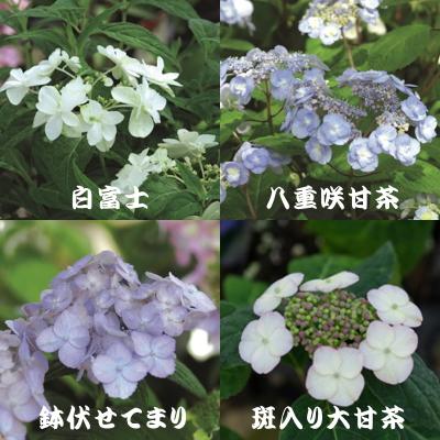 Растения справа - это два сорта гортензии АМАЧА: махровый и пятнистый крупный
