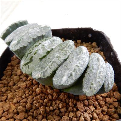 多肉植物 niハオルチア 特美グリーン模様窓 海野グリーン 多肉植物 ハオルチア 7.5cmポット