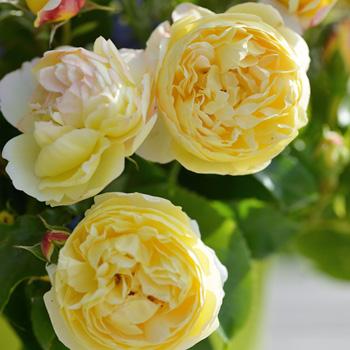 予約販売 バラ新苗 デルバール シャトー ドゥ シュベルニー 四季咲き 薔薇 バラ バラ苗 Has 4月上旬以降発送
