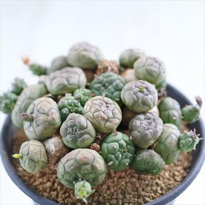 多肉植物 グロボーサ caユーフォルビア 3号鉢 0528-04 現品販売 多肉植物 コーデックス