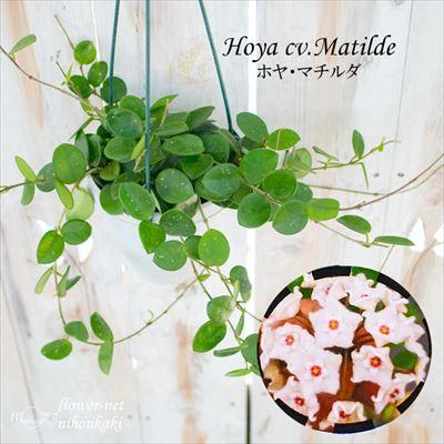 緑のある暮らし ホヤ 低価格 マチルダ 最新アイテム カルノーサ×セルペンス 4号鉢 インテリア 吊り鉢 サクララン 観葉植物 おしゃれ