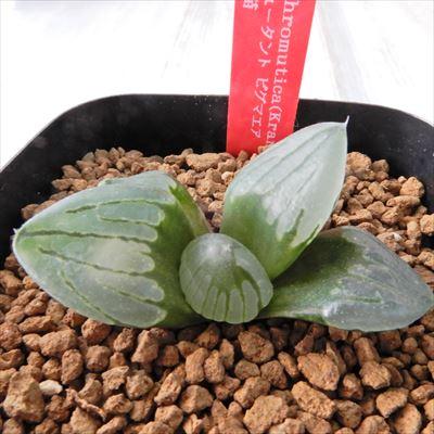 50%オフ 多肉植物 niハオルチア H.chromutica(Kransrivermond)N3×ミュータント ピグマエア 実生苗 多肉植物 カクタスニシさん苗 ハオルチア 1010-06 現品販売 7.5cmポット