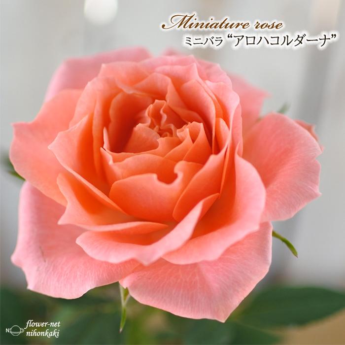 予約販売 ミニバラ おすすめ アロハコルダーナ 3号ポット バラ バラ苗 ふるさと割 薔薇 mnu 苗 10月下旬以降発送