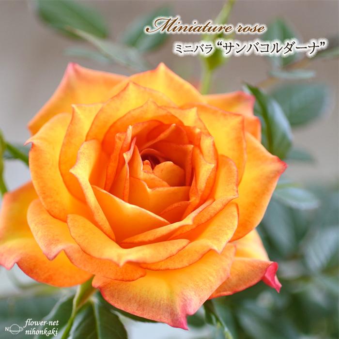 予約販売 ミニバラ サンバコルダーナ 3号ポット 売れ筋ランキング バラ 10月下旬以降発送 バラ苗 新作アイテム毎日更新 苗 薔薇 mnu