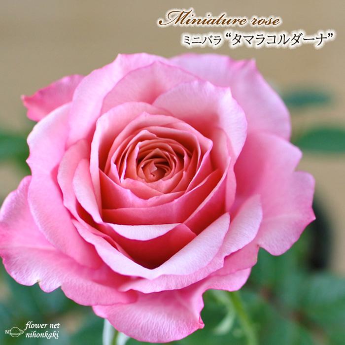 予約販売 ミニバラ タマラコルダーナ 3号ポット バラ 卸売り 実物 薔薇 mnu 苗 10月下旬以降発送 バラ苗