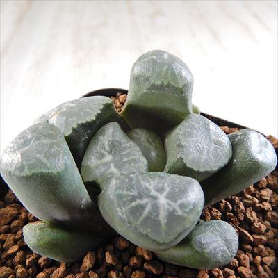 多肉植物 naハオルチア 巌流 多肉植物 ハオルチア 1118-34 現品販売 7.5cmポット