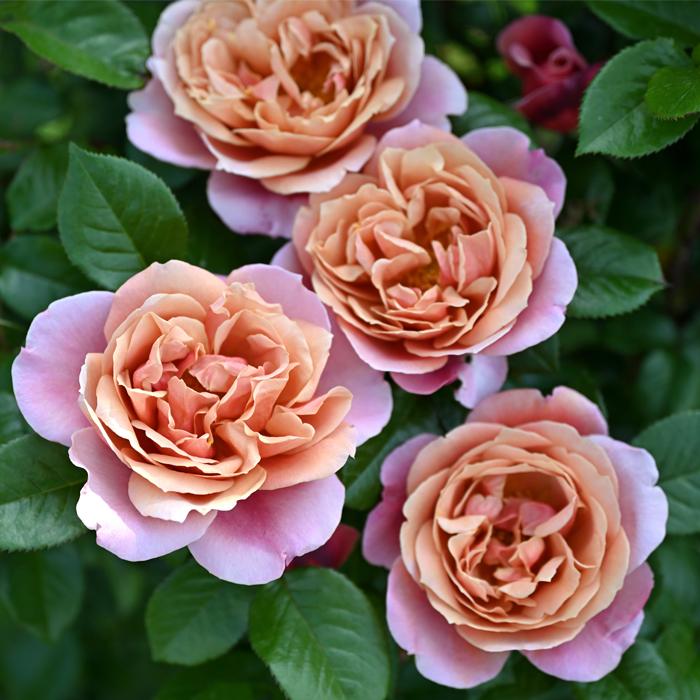 信託 予約販売 バラ苗 バラ大苗 ドリュ ピンク ビンテージ hao 四季咲き バラ 12月上旬以降発送 薔薇 未使用品
