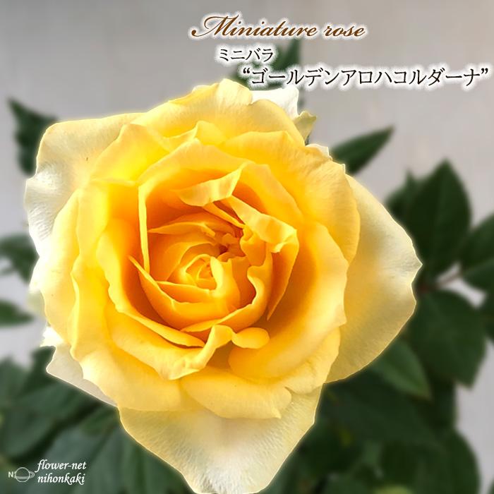 予約販売 ミニバラ ゴールデンアロハコルダーナ 3号ポット ハイクオリティ バラ バラ苗 mnu 10月下旬以降発送 メーカー公式 苗 薔薇