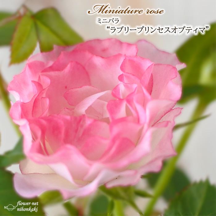 未使用品 予約販売 ミニバラ ラブリープリンセスオプティマ 3号ポット バラ 薔薇 苗 10月下旬以降発送 完全送料無料 mnu バラ苗