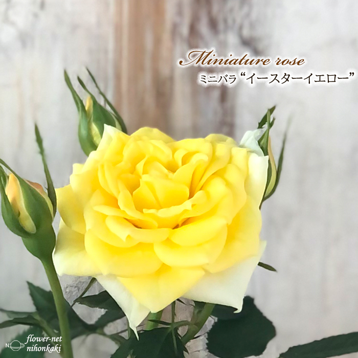 日本 予約販売 ミニバラ イースターイエロー 3号ポット バラ 10月下旬以降発送 bry 薔薇 苗 バラ苗 出荷