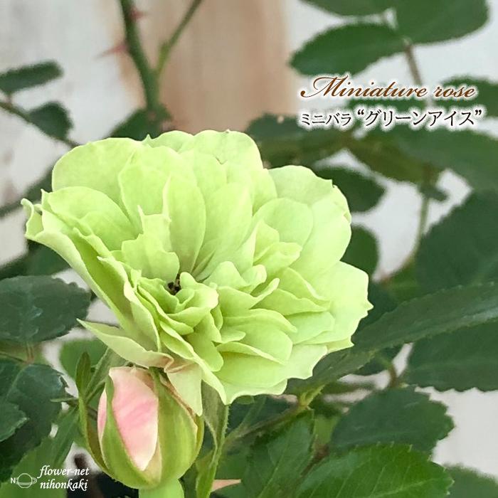 予約販売 ミニバラ グリーンアイス 3号ポット バラ 薔薇 10月下旬以降発送 大決算セール bry 上質 苗 バラ苗