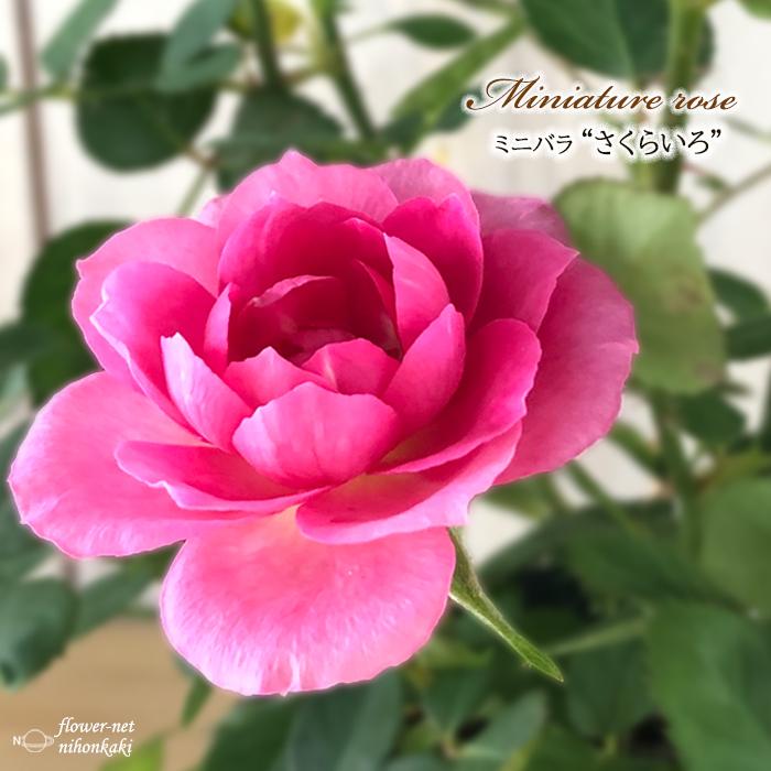 予約販売 引き出物 全品送料無料 ミニバラ さくらいろ 3号ポット バラ 10月下旬以降発送 バラ苗 薔薇 bry 苗