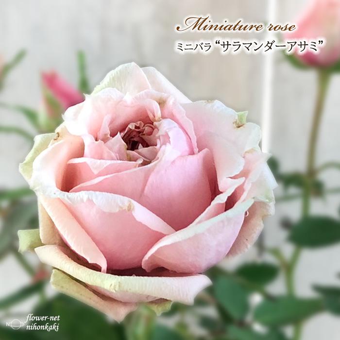 予約販売 ミニバラ サラマンダーアサミ 3号ポット バラ 10月下旬以降発送 苗 bry バラ苗 薔薇 安値 驚きの値段