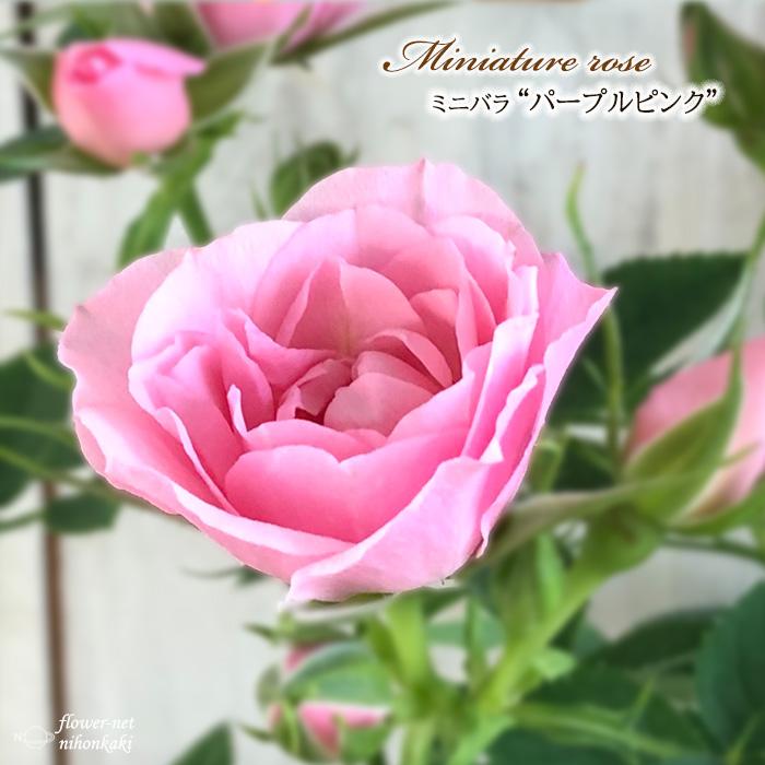 予約販売 ミニバラ パープルピンク 3号ポット バラ 苗 バラ苗 日時指定 お求めやすく価格改定 薔薇 10月下旬以降発送 bry