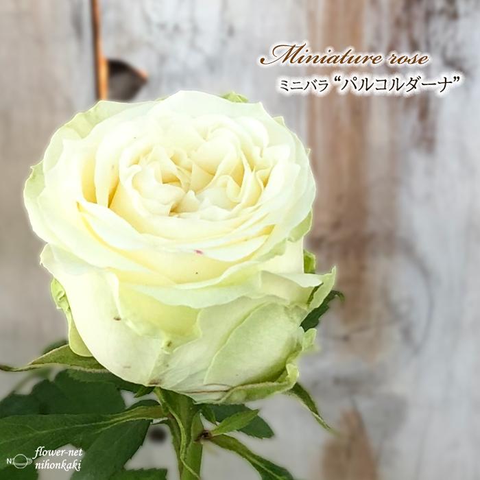 予約販売 25%OFF ミニバラ パルコルダーナ 3号ポット バラ 苗 薔薇 バラ苗 全商品オープニング価格 10月下旬以降発送 bry